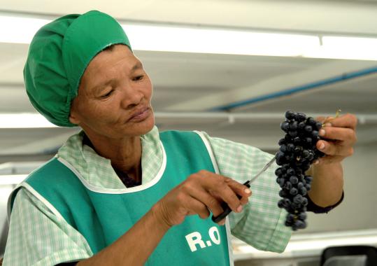 Stellar Organics Fairtrade Weine aus Südafrika: Frau bei der Traubenernte