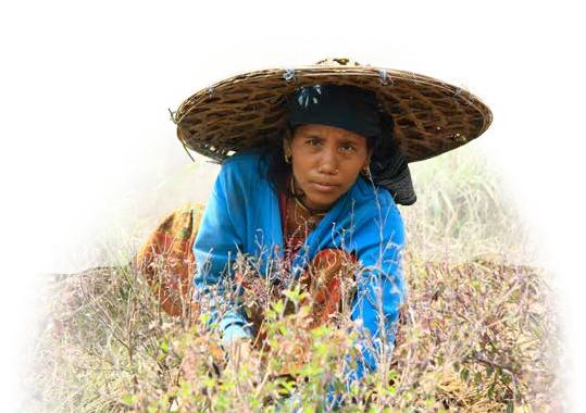 Nepali Gardens Demeter Bio Räucherstäbchen aus Nepal: Bäuerin bei der Ernte