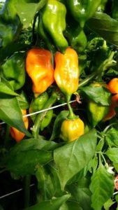 """Frische Chili der Sorte """"Habanero Orange"""" vom URfair Produzenten Biogemüse Hautzinger"""